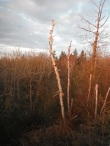 White bark at sunset