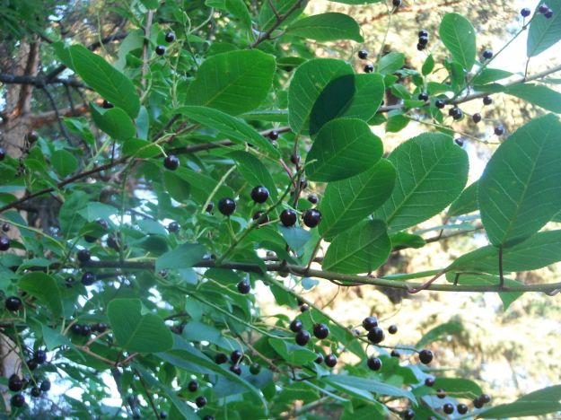 Chokecherries on the branch