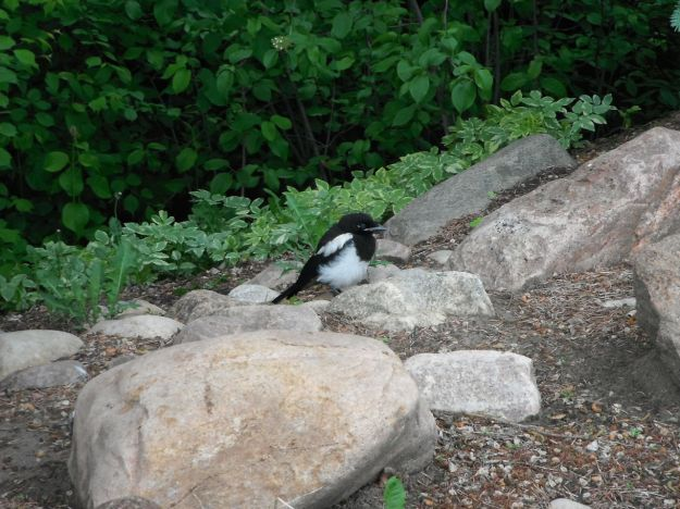 Baby magpie grounded